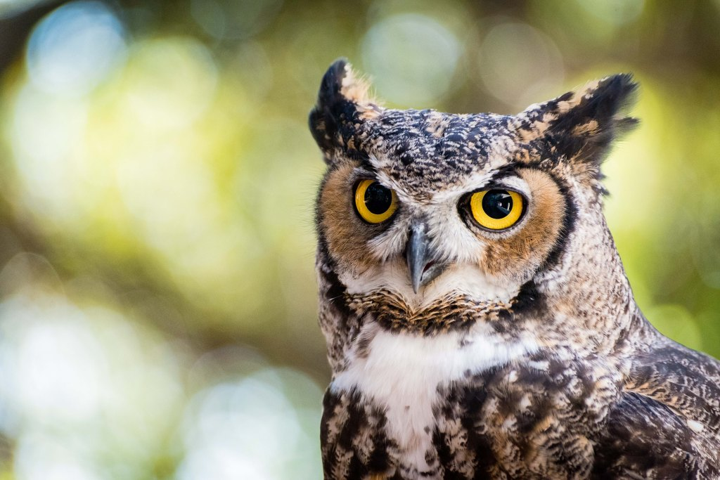 A portrait of a great horned owl. Stock photo.