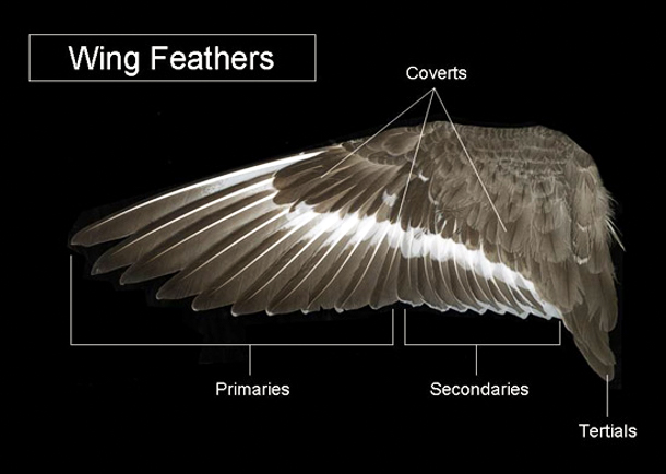 A visual comparison of the types of feathers found on the great horned owl (Bubo virginianus). Photo © U.S. Fish and Wildlife Service.