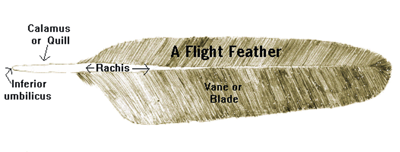 The anatomy of a flight feather. Photo © U.S. Fish and Wildlife Service.