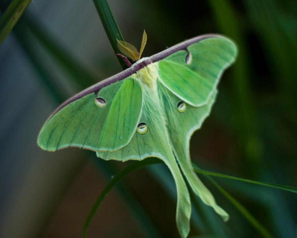 The bright green wings of the Luna moth (Actias luna) are instantly recognizable. Stock photo.
