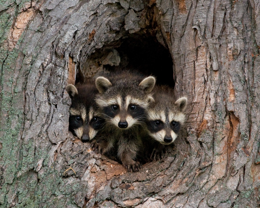 A trio of raccoon kits in their tree den. Stock photo.