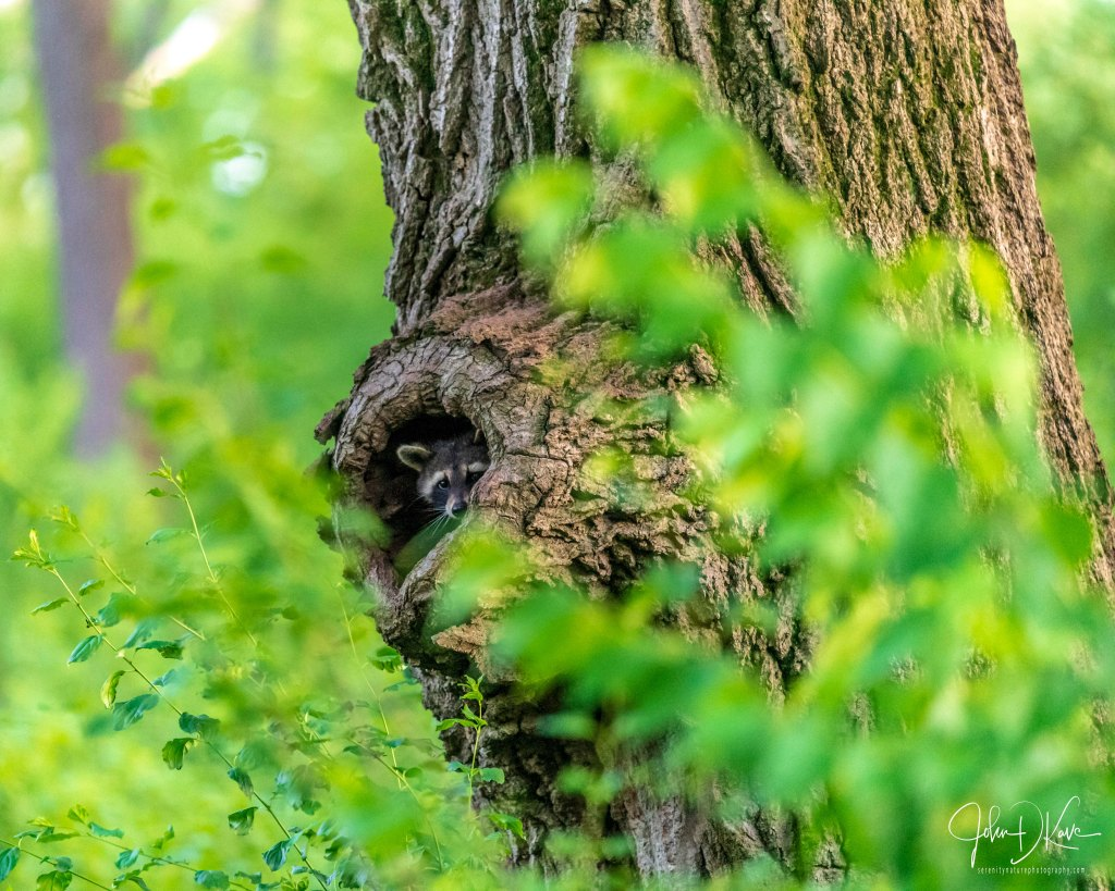 A raccoon (Procyon lotor) peeks out of its tree den. Photo © John D. Kavc.
