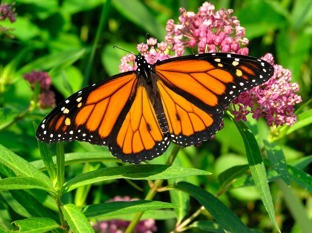 The monarch butterfly (Danaus plexippus), while iconic, isn't the only species that uses milkweed. Stock photo.