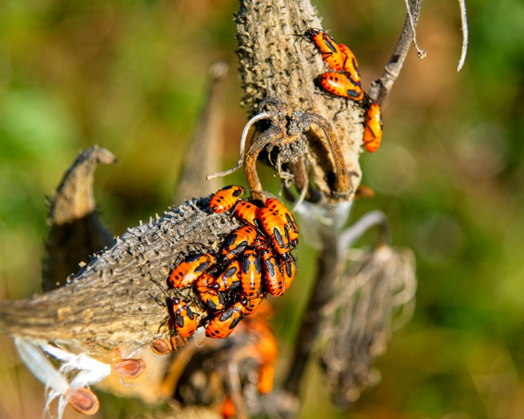 Large milkweed bugs (Oncopeltus fasciatus) feast on milkweed seed pods. Stock photo.