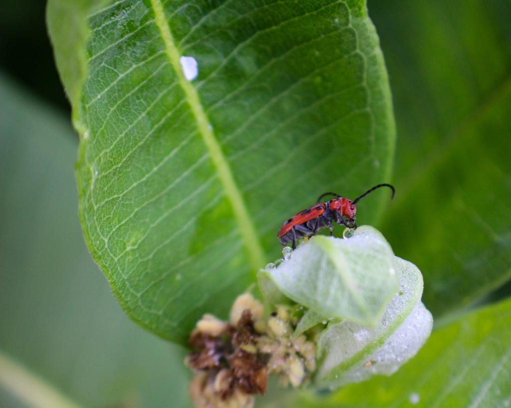 A milkweed beetle (Tetraopes tetrophthalmus) traverses a milkweed leaf. Photo © Allison Frederick.