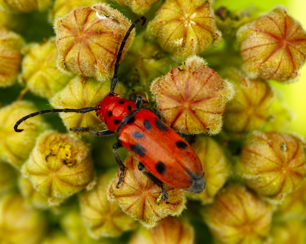 The black polka dots of the milkweed beetle (Tetraopes tetrophthalmus) are easily recognizable. Stock photo.