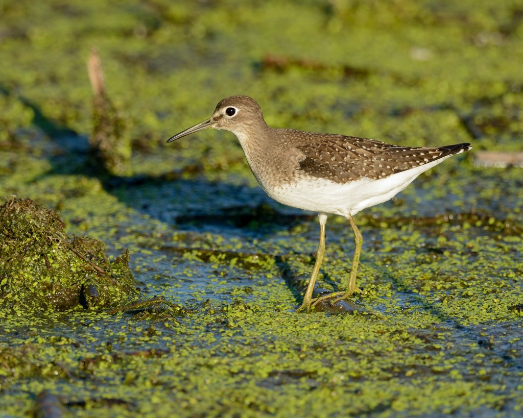 Solitary sandpiper (Tringa solitaria). Photo © Phil Hauck.