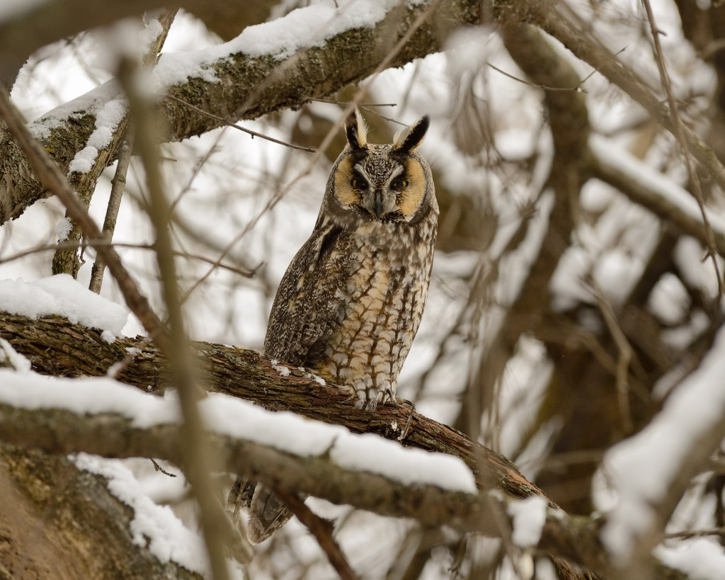 """Long-eared owl (Asio otus)."" Photo © Phil Hauck."