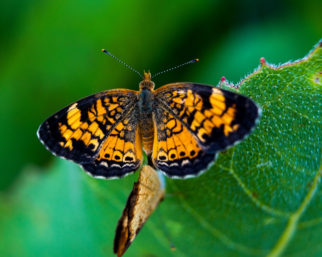"""Pearl crescent butterflies mating."" Photo © Sean Anderson."