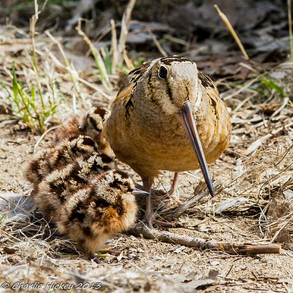 Woodcock chicks become fully independent from their mother at a month old. Photo © Charlie Hickey.