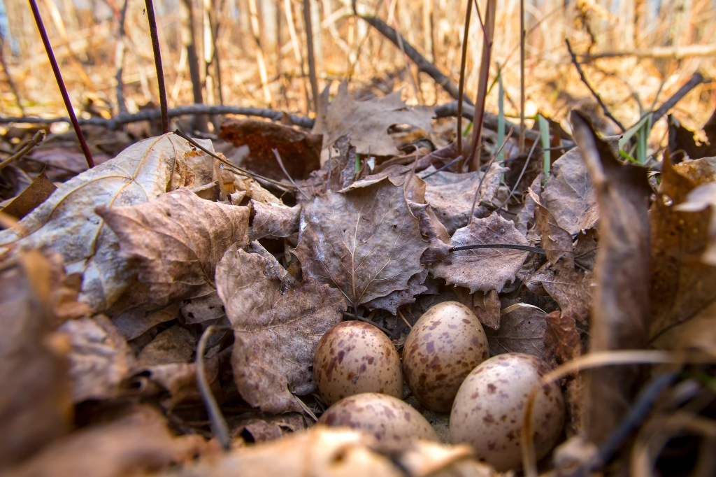 A clutch of woodcock eggs in a ground nest. Stock photo.