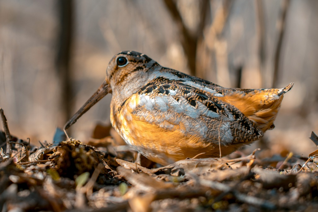 The American woodcock (Scolopax minor) is a curious species to study. Stock photo.