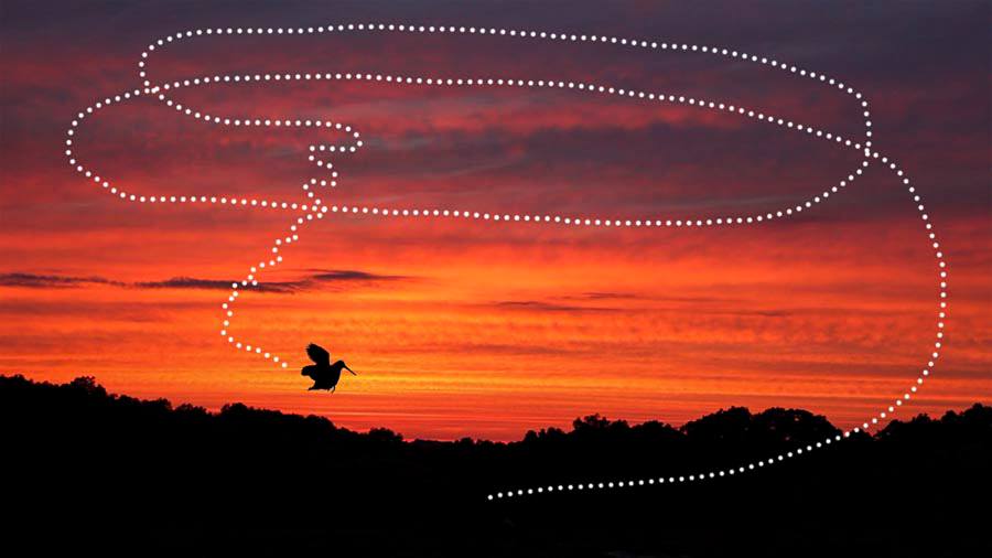 The typical flight pattern of a male woodcock during his aerial display. Photo © Lang Elliott.