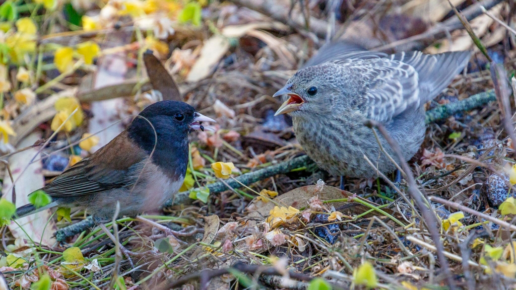 A dark-eyed junco (Junco hyemalis) feeds a cowbird chick. Photo © Bob Gunderson.
