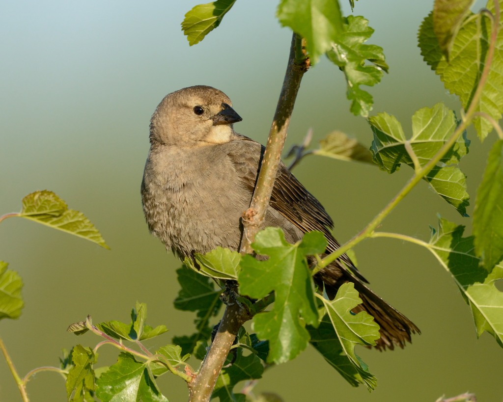 A female brown-headed cowbird (Molothrus ater) spotted at Rollins Savanna in Grayslake. Photo © Phil Hauck.