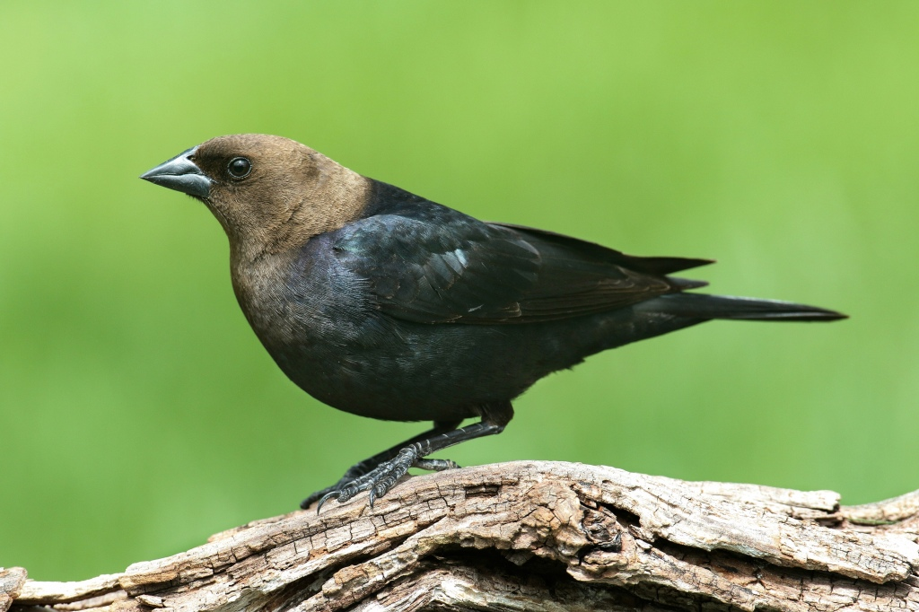 A male cowbird. Note the thick, conical bill. Stock photo.