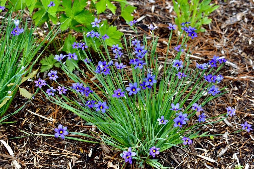Blue-eyed grass (Sisyrinchium spp.). Photo © Eileen Davis.