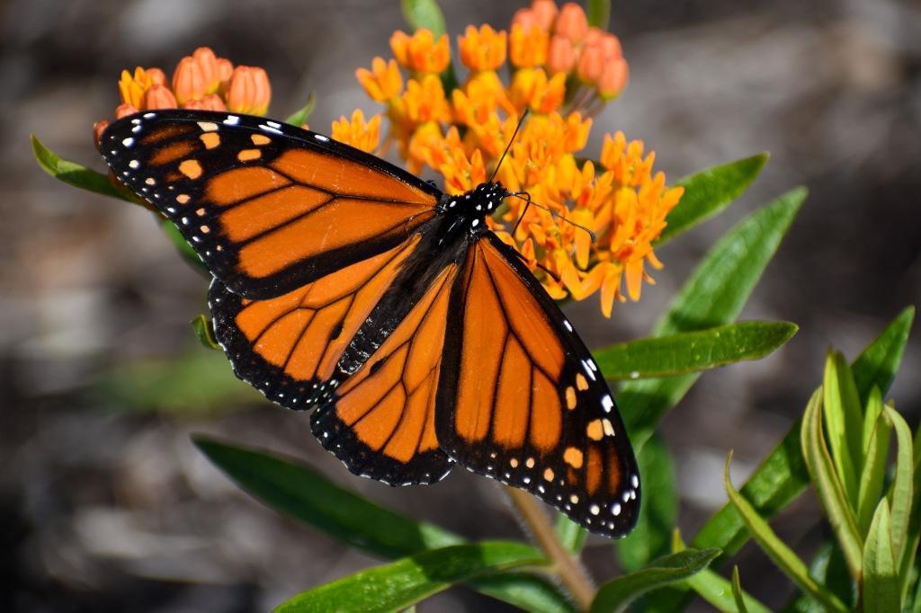 A monarch butterfly (Danaus plexippus) visits butterfly weed (Asclepias tuberosa). Photo © Eileen Davis.