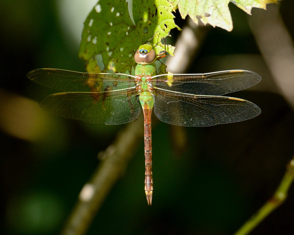 Green darners are named after their resemblance to a darning needle. Photo © Phil Hauck.