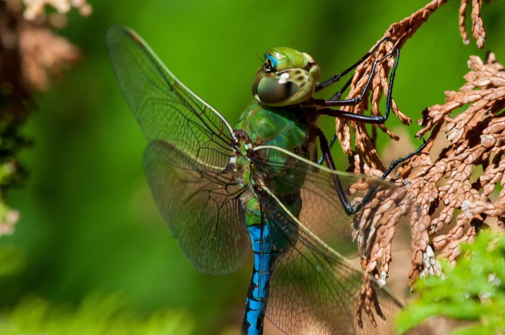 Common green darner dragonflies (Anax junius) are found in the forest preserves. Stock photo.