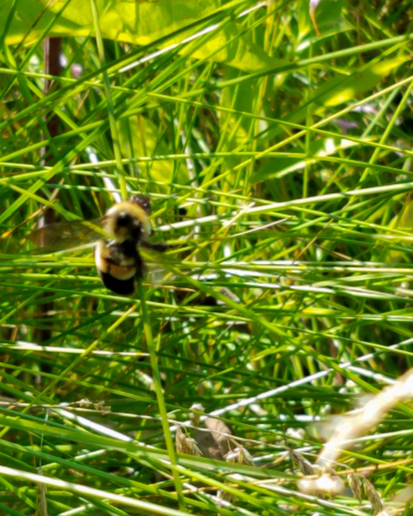 In July 2020, Stewardship Ecologist Kelly Schultz spotted this rusty patched bumble bee at Greenbelt in North Chicago, causing a flurry of excitement among staff, residents and local ecologists. Photo © Lake County Forest Preserves.
