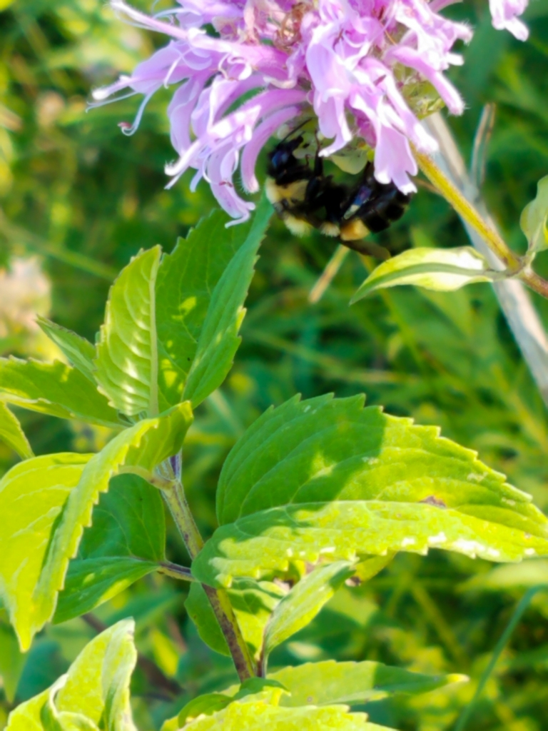 A rusty patched bumble bee feeds on nectar from a wild bergamot (Monarda fistulosa) plant. Photo © Lake County Forest Preserves.