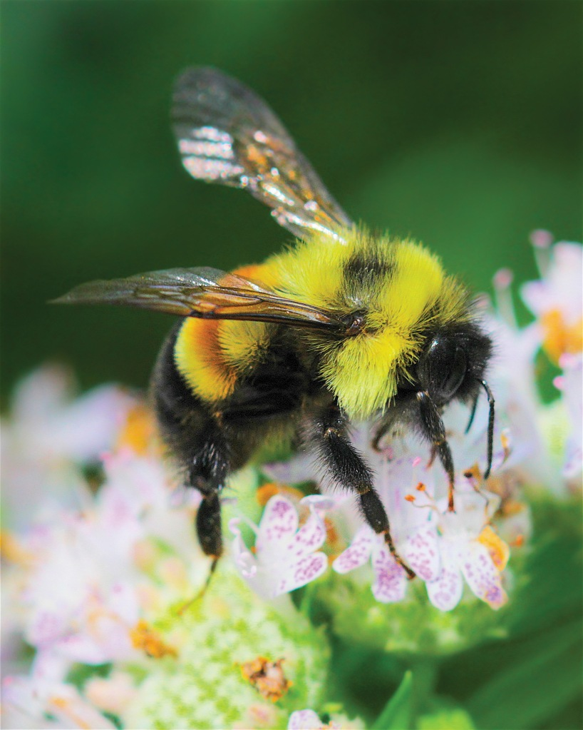 A worker, or male, rusty patched bumble bee (Bombus affinis) sits atop mountain mint. Photo © Dan Mullen.